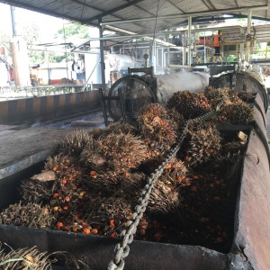 The palm fruit bunches are loaded into these little rail cars and moved into the steam chamber. The steam loosens thefruit from the bunch. The left over plant material is burned to produce energy, the steamed bunches go into a rotating cylinder where the fruit falls out of the bunch.